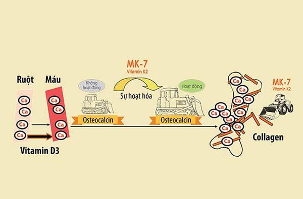Sự kết hợp của MK7 và vitamin D3 góp phần nâng cao sức khỏe xương